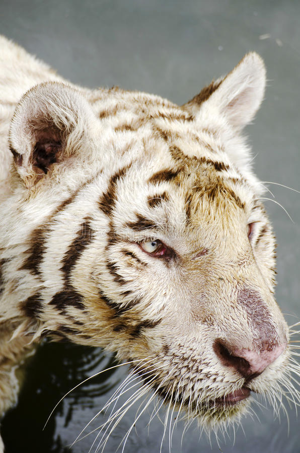 White Tiger. Big white tiger close-up portrait stock images