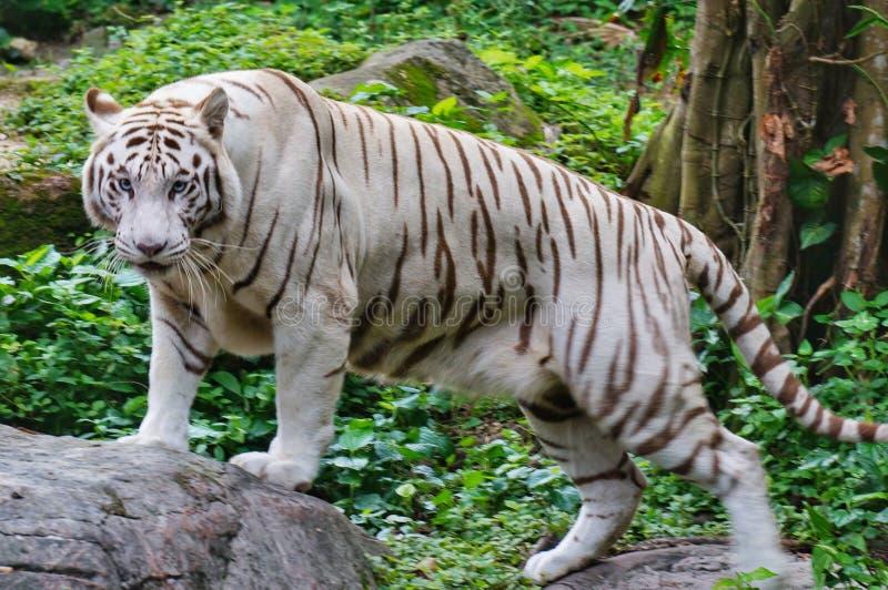 White tiger. Big White Tiger at Singapore Zoo stock photography