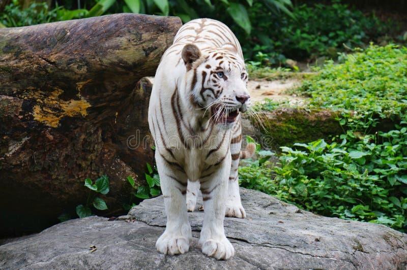 White tiger. Big White Tiger at Singapore Zoo royalty free stock image