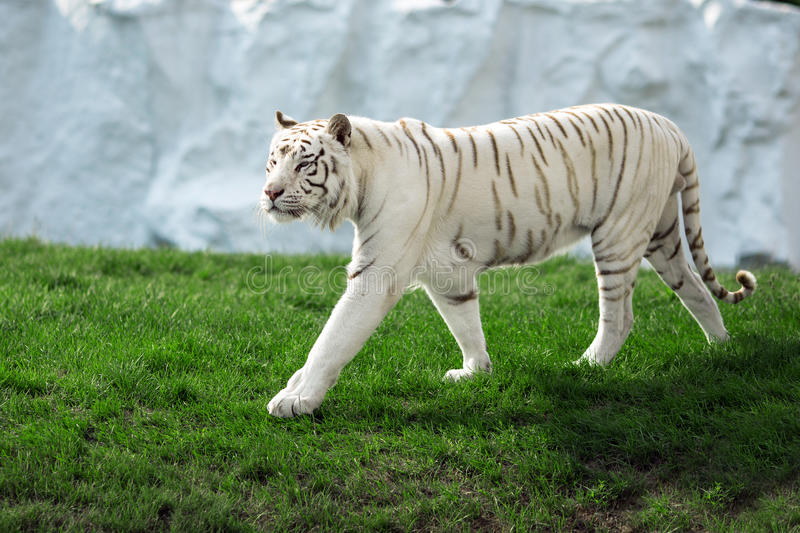 White Tiger. Big White Tuger walk on green grass