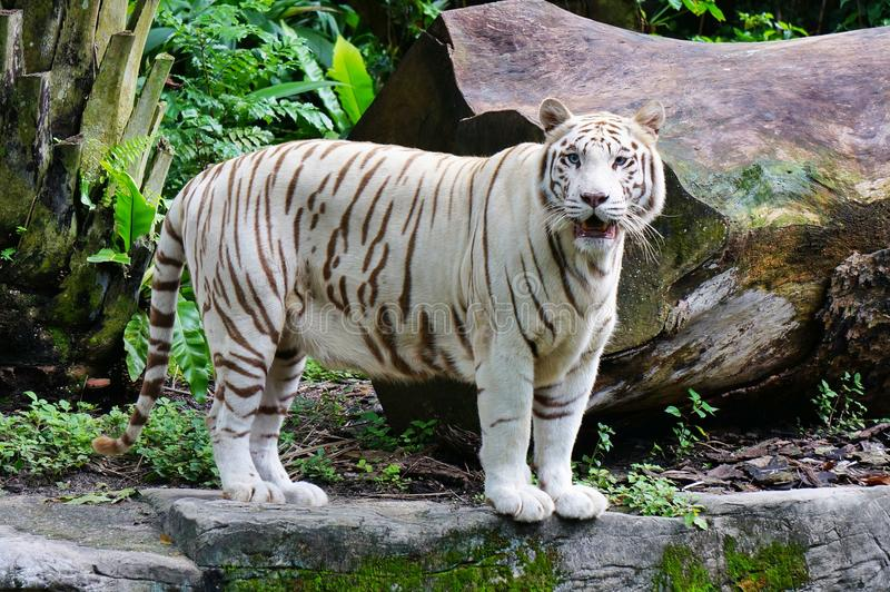 White tiger. Big White Tiger at Singapore Zoo stock image