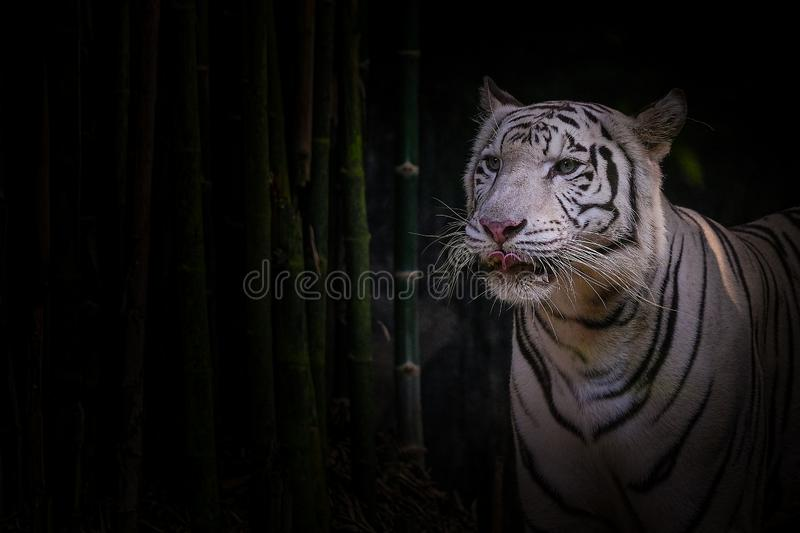 White tiger on black background with bamboo trees. White tiger on a black background with bamboo trees stock photo