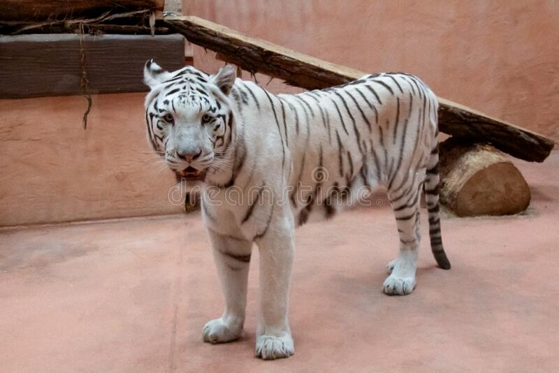 White tiger with black stripes. In full height royalty free stock photos