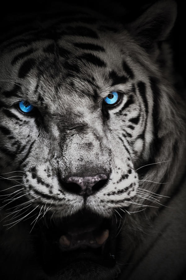 White tiger with blue eyes royalty free stock photography