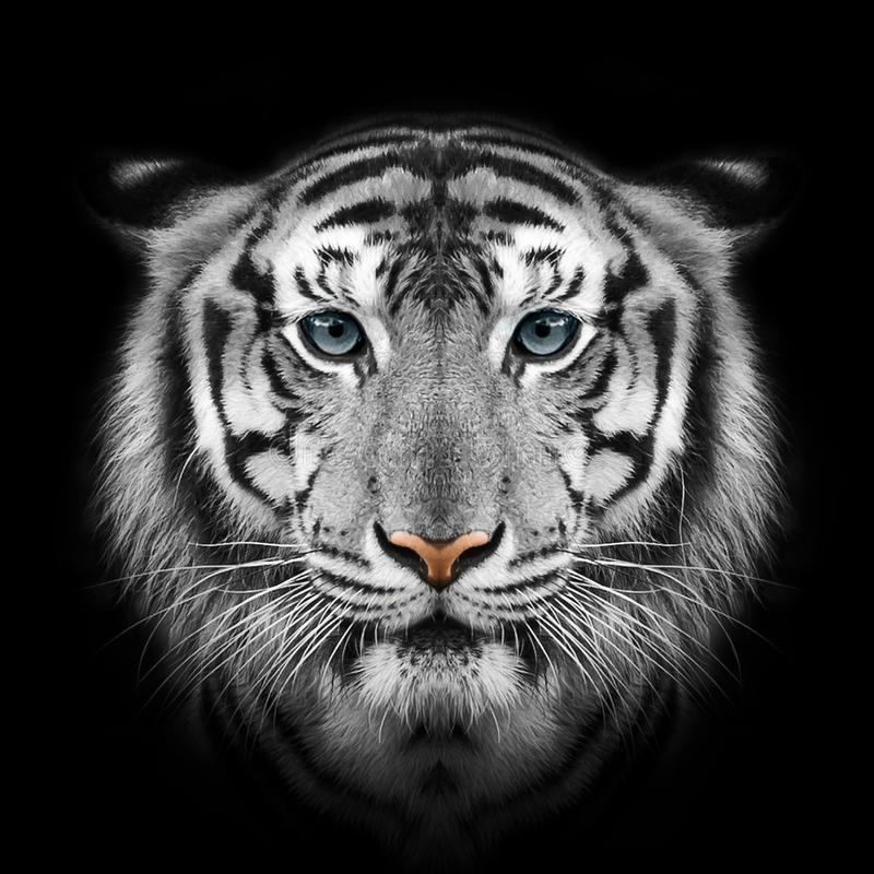 White tiger. Close-up face White tiger isolated on black background stock photos