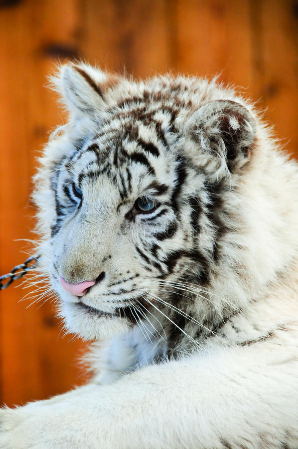 Download White tiger cub stock image. Image of baby, captivity - 14859139