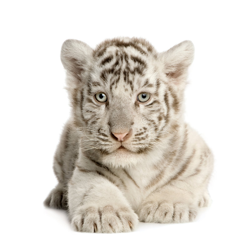 White Tiger cub (2 months) royalty free stock image