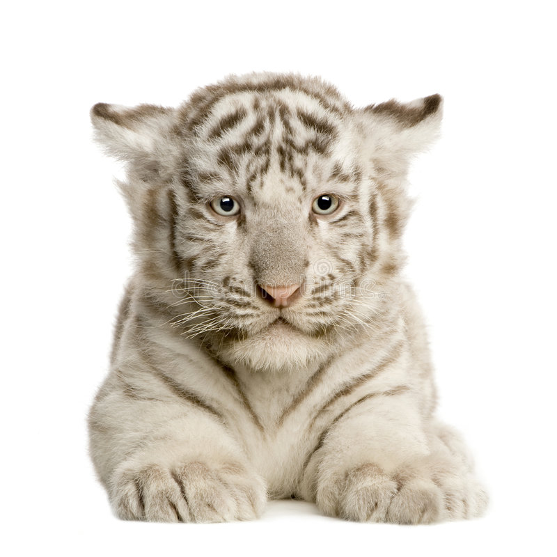 White Tiger cub (2 months) stock photography