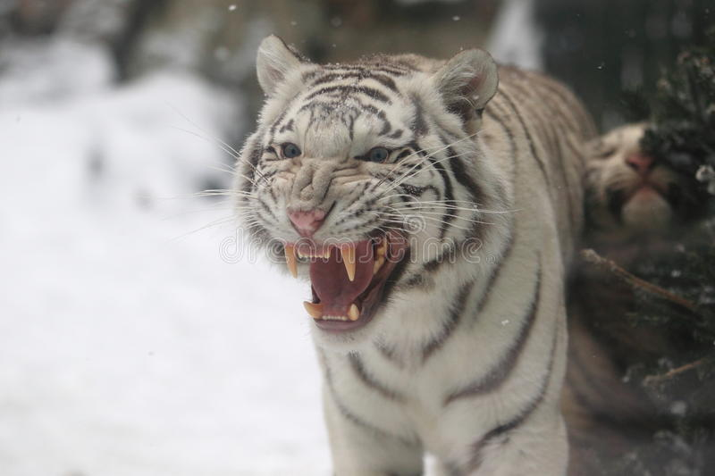 White tiger cub. The detail of white tiger cub stock photography