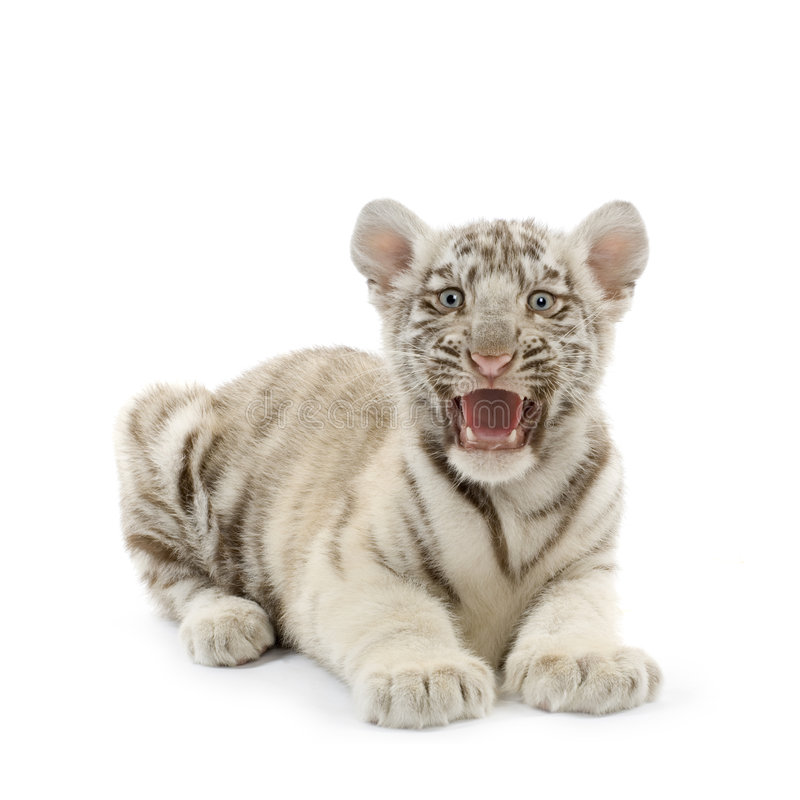 Download White Tiger cub (3 months) stock photo. Image of purebred - 2390706