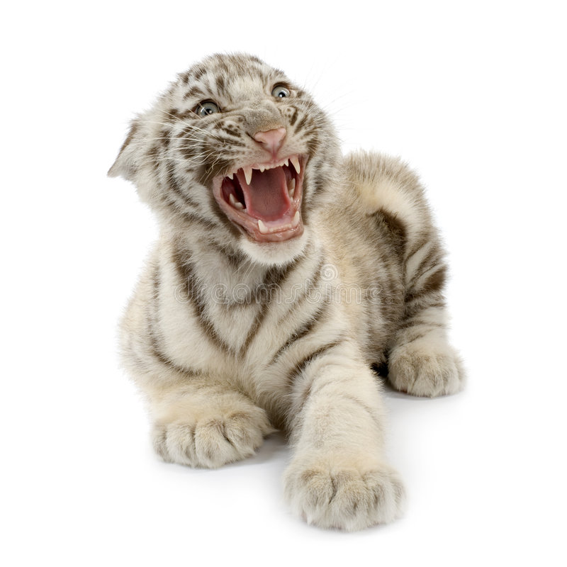 White Tiger Cub (3 Months) Royalty Free Stock Images