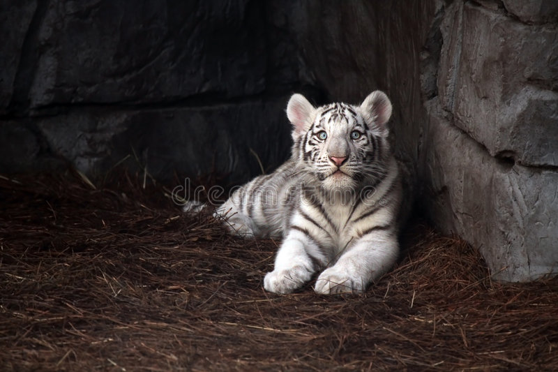 Download White Tiger Cub stock photo. Image of outdoors, feline - 8465552
