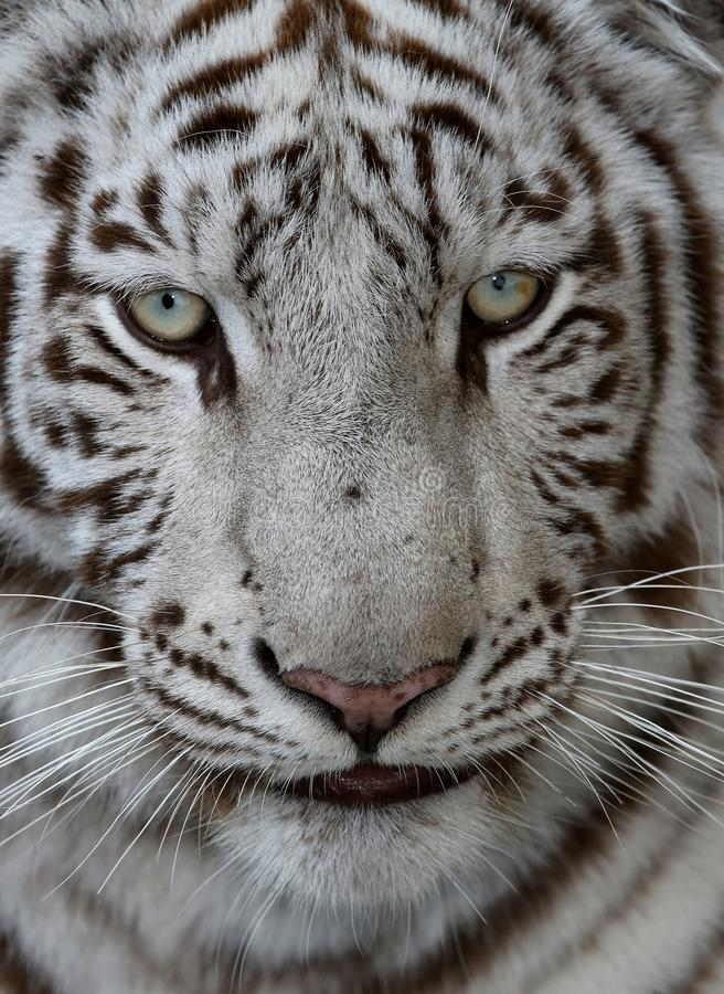 White Tiger Face. Close up of a white tiger face with green blue eyes and long whiskers stock image