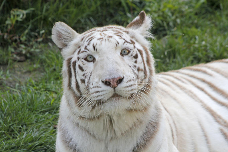 Download White tiger stock photo. Image of wildlife, snout, royal - 33444920