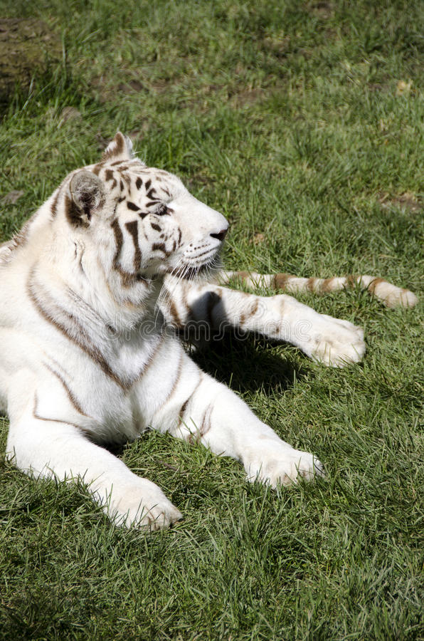 Download White Tiger Royalty Free Stock Images - Image: 32463889