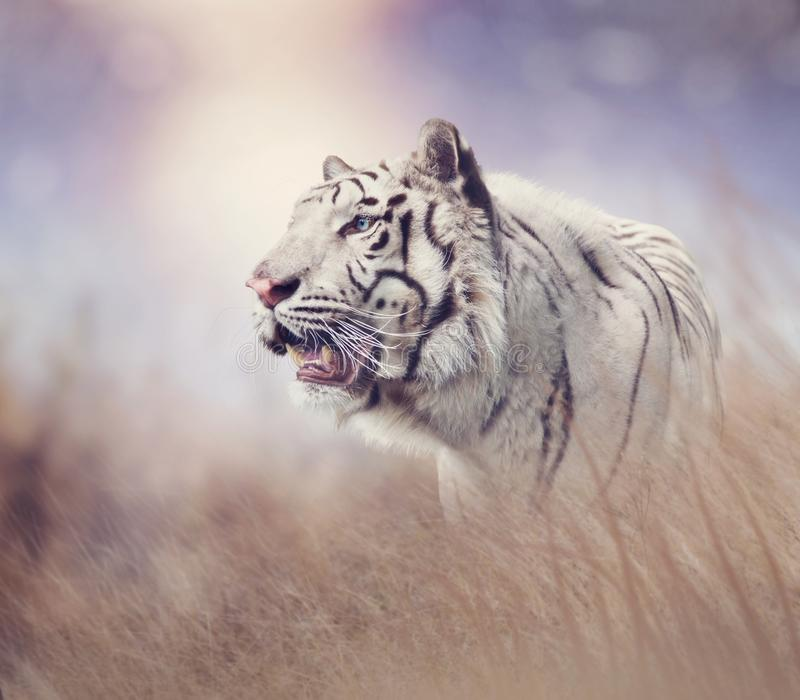 White tiger in the grassland. At sunset stock photography