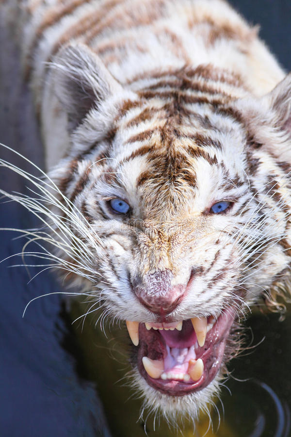 White tiger intimidate to the camera. In the zoo royalty free stock photos
