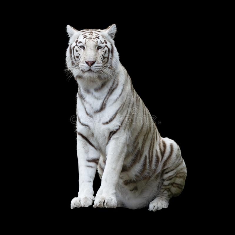 White tiger isolated. White tiger, a variant of the Bengal tiger, isolated and cutout with clippling path against a black background royalty free stock images