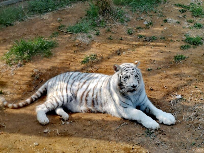 White Tiger @ Jinan Wildlife World, Shandong China. Jinan wildlife world shandong china wh whi whit white ti  er tiger royalty free stock image