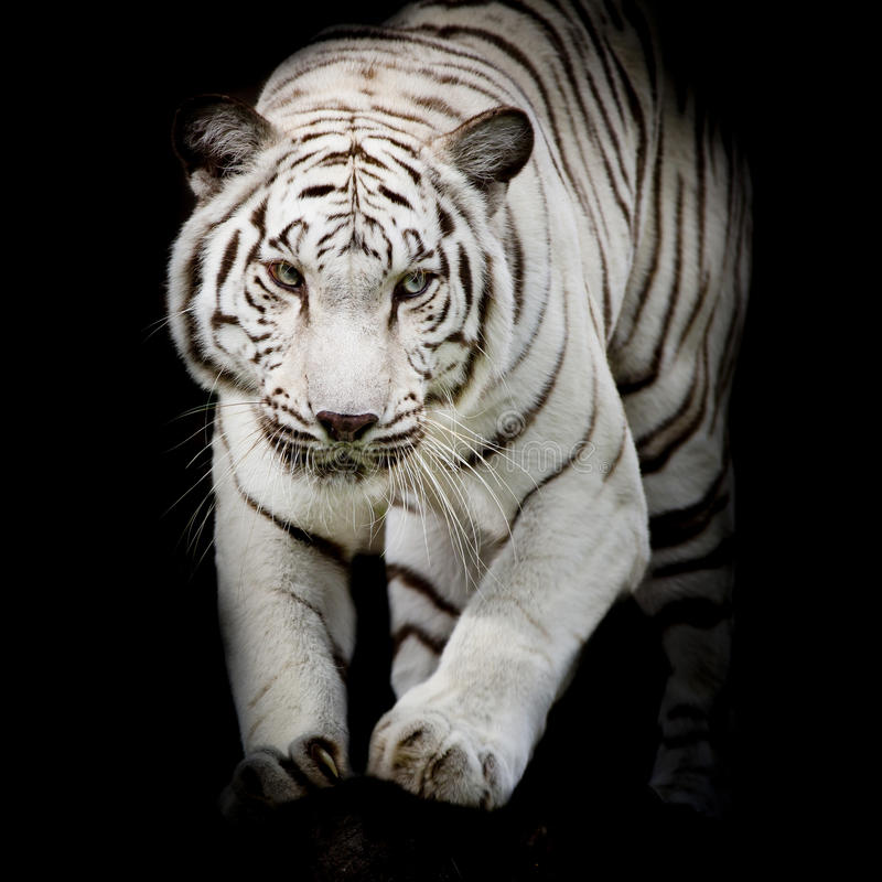 White tiger jumping isolated on black background stock photo