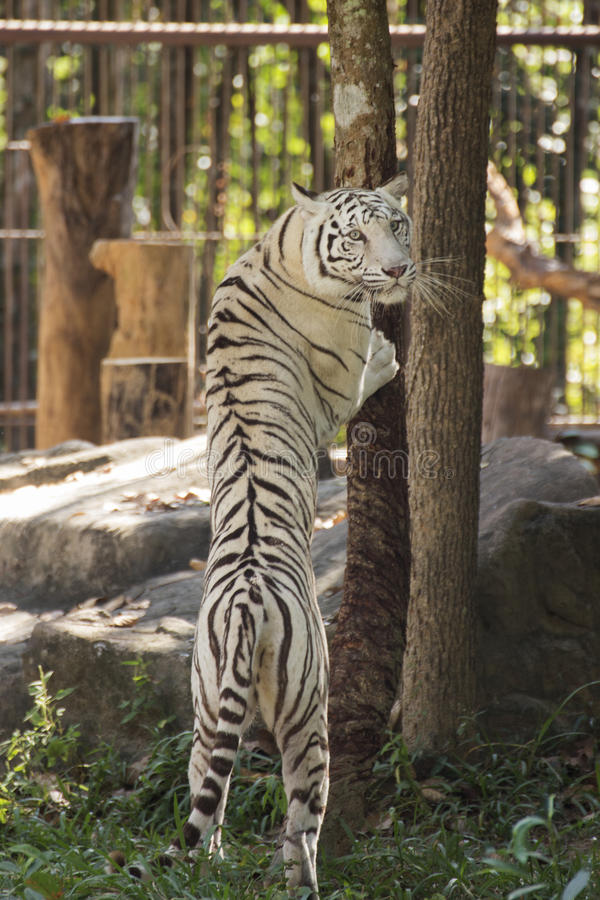 The White Tiger jumping royalty free stock photos