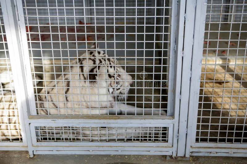 White tiger kept in cage inside a circus menagerie - animal abuse.  stock image
