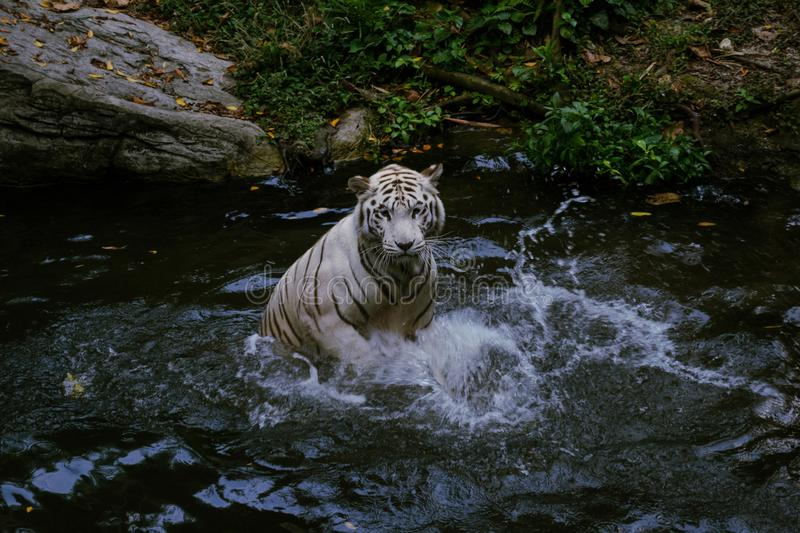 White tiger looking at the camera. royalty free stock photo