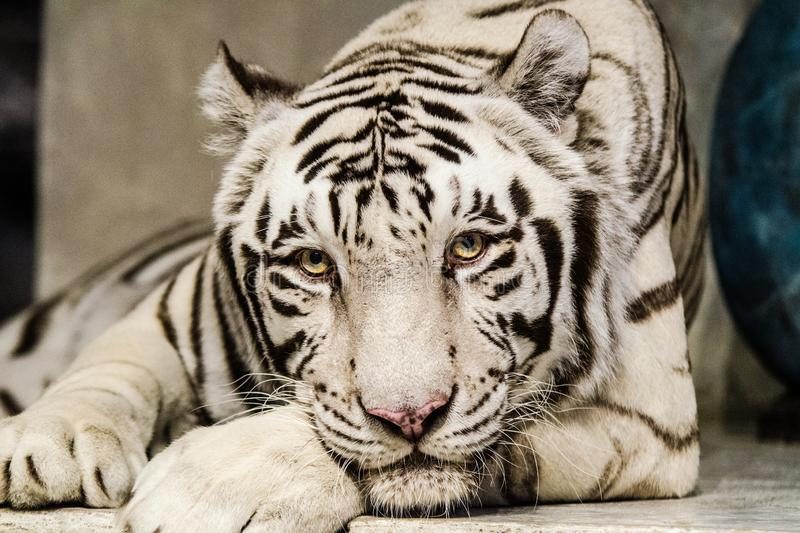 White Tiger Looking at You royalty free stock image