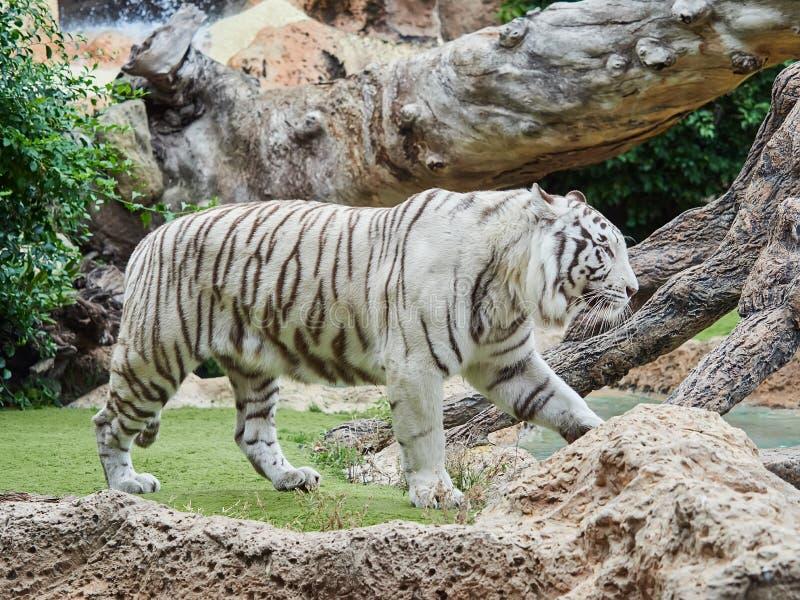 White tiger at Loro Park Loro Parque, Tenerife, Canary Islands, Spain.  stock image