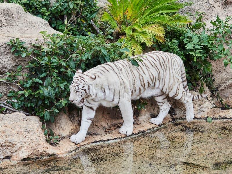 White tiger at Loro Park Loro Parque, Tenerife, Canary Islands, Spain.  stock photos