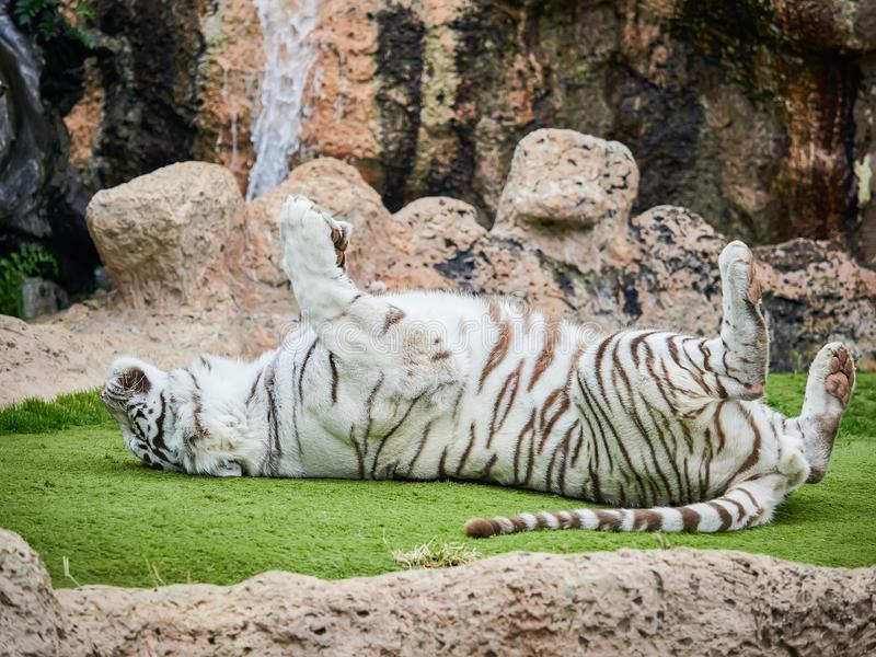 White tiger at Loro Park Loro Parque, Tenerife, Canary Islands, Spain.  stock photography