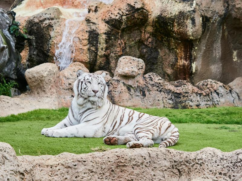 White tiger at Loro Park Loro Parque, Tenerife, Canary Islands, Spain.  royalty free stock image