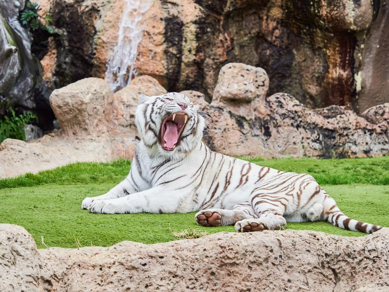 White tiger at Loro Park Loro Parque, Tenerife, Canary Islands, Spain.  royalty free stock photos