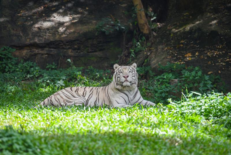 White tiger lying on a green grass field - royal tiger. White tiger lying on a green grass field / royal tiger stock photography