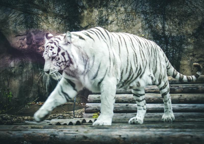 White tiger in the Moscow zoo royalty free stock images