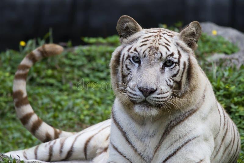 White tiger panthera tigris stock image