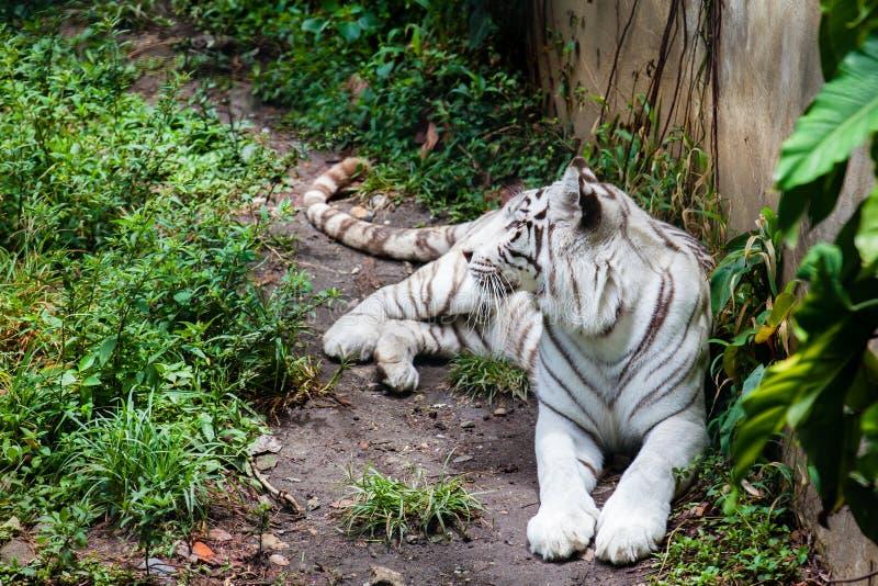 White tiger Panthera tigris tigris royalty free stock images