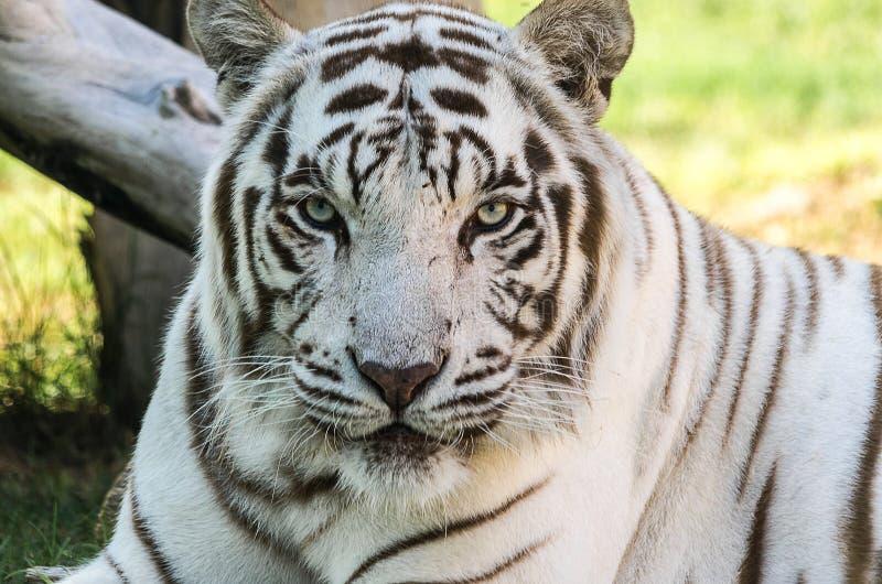 White Tiger & x28;Panthera tigris& x29; royalty free stock images