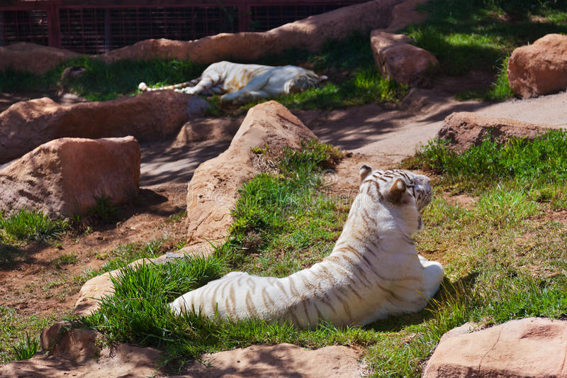 Download White tiger stock image. Image of asia, ears, relax, purebred - 30071433