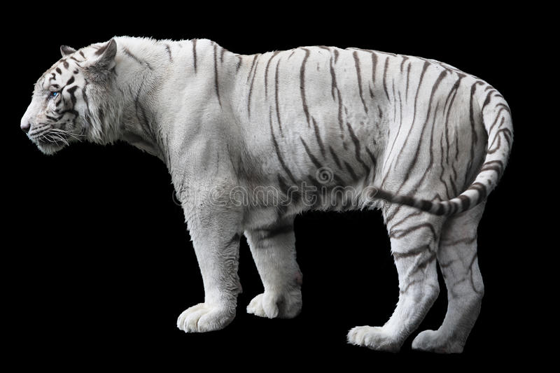 White tiger. Photo of white tiger isolated on black background royalty free stock photos