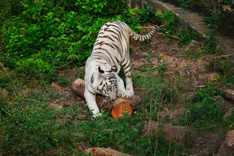 White tiger. Playing on forest stock photography