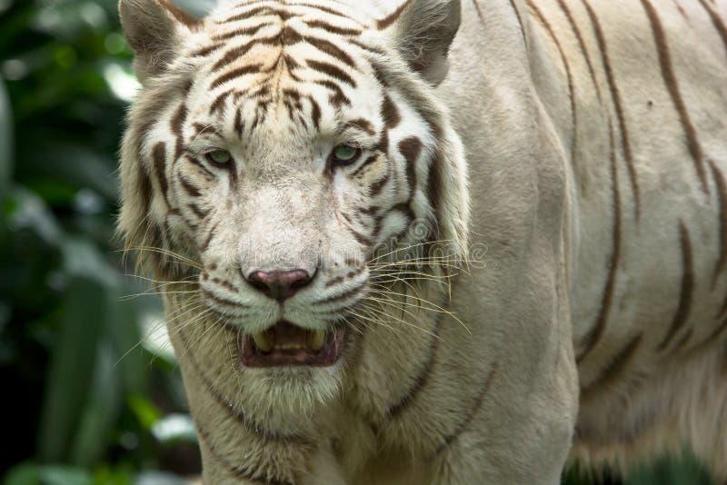 White tiger portrait. White tiger (also snow white or pure white) portrait stock photos