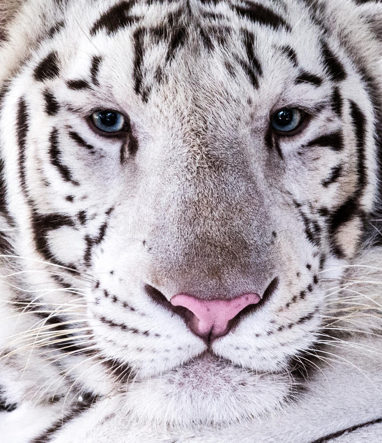 White Tiger. Portrait with blue eyes royalty free stock photo