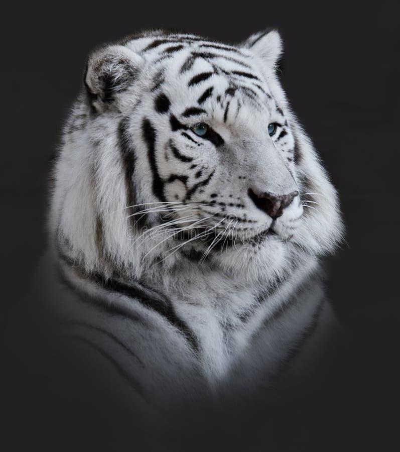White Tiger Portrait. On Dark Background royalty free stock image