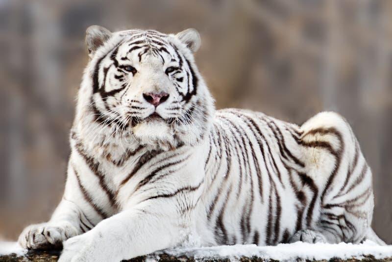 White tiger. Portrait of lying white tiger royalty free stock photos