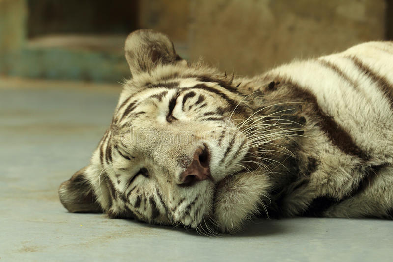 White tiger portrait. White tiger sleeping head closeup stock photography