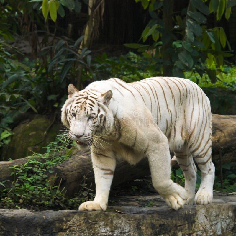 Free White Tiger Prowl Royalty Free Stock Photos - 4555778
