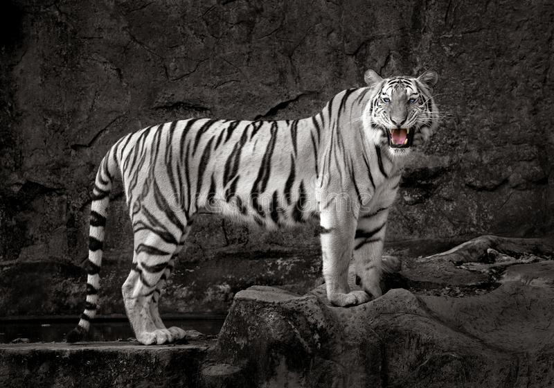 White Tiger resting on the rocks. stock photo