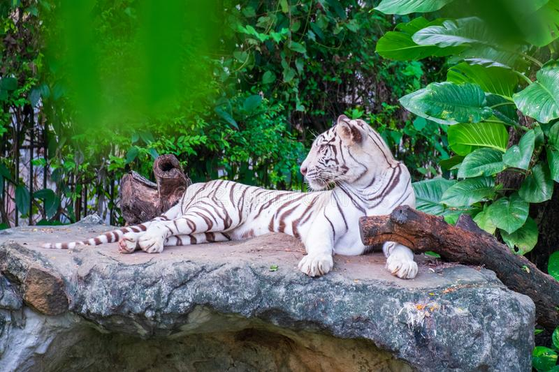 The white tiger that is resting on the rocks, under the shade of the wood. S stock image