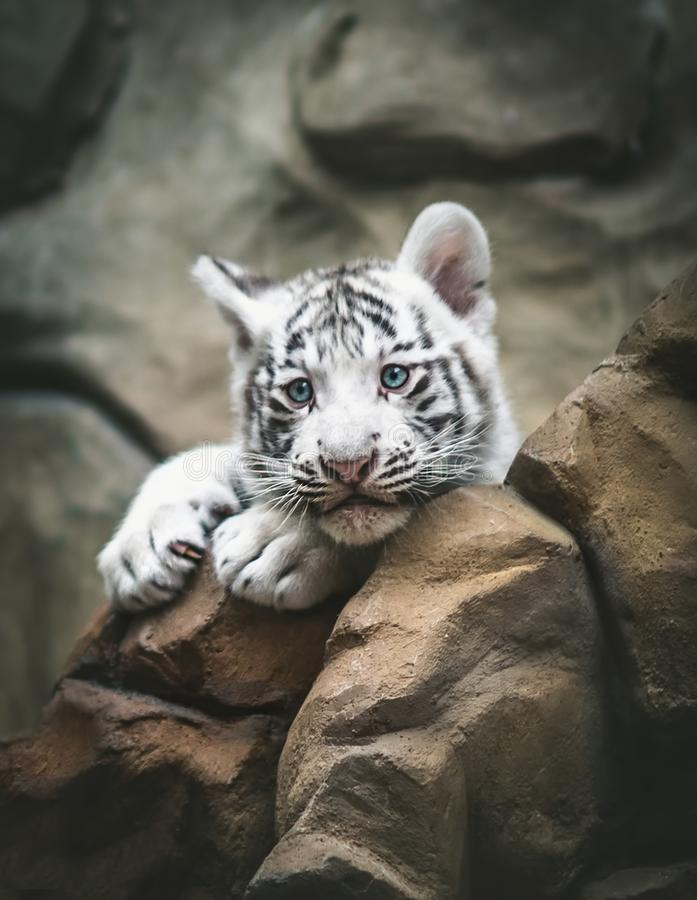 White tiger resting side by side. White tiger or bleached tiger is a pigmentation variant of the Bengal tiger, young animals,. Black and white, Zoo Liberec, the stock photos